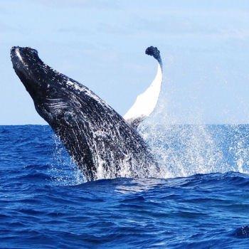un saut de baleine spectaculaireà rurutu