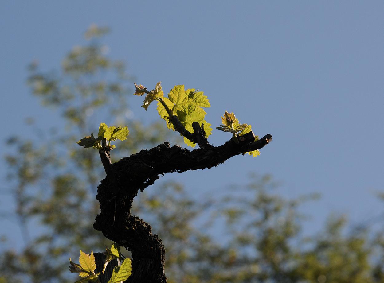 Et la vigne...