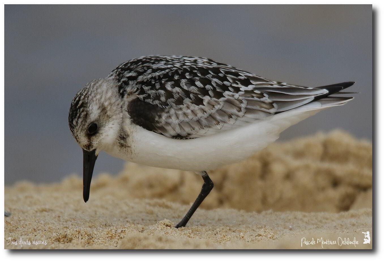 Bécasseau sanderling juvénile