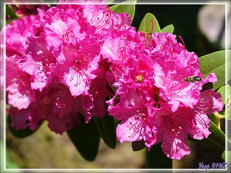 Azalées et Rhododendrons - Lartigau - Milhas - 31