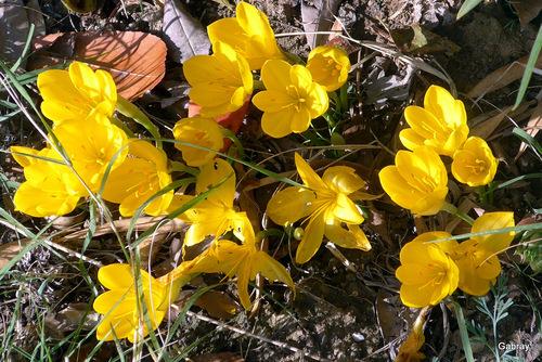 Crocus jaunes d'automne