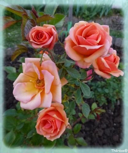 premieres-roses-du-jardin.jpg