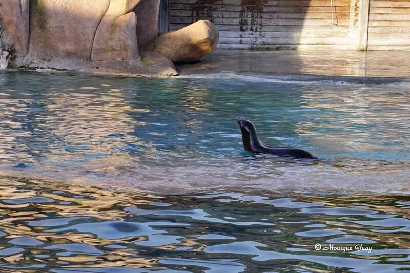 Les lions de mer au zoo d'Amnéville
