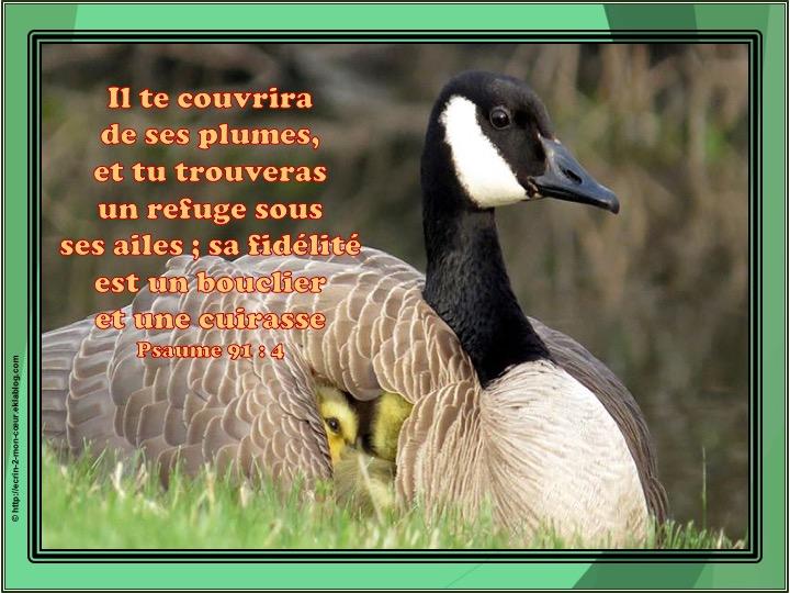 Il te couvrira de ses plumes - Psaume 91 : 4
