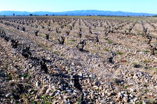 Claira: une vigne en mars