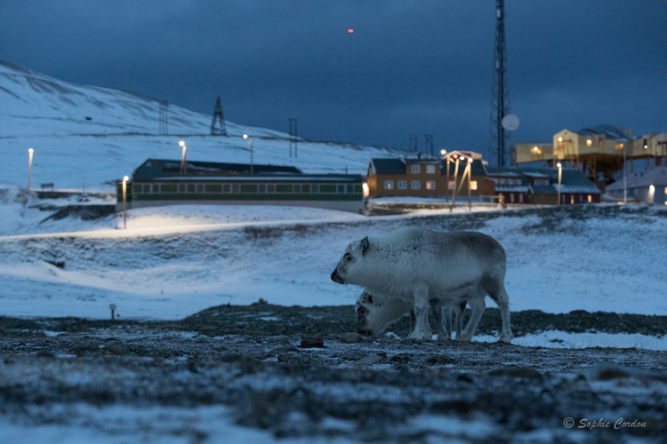 Urban reindeer