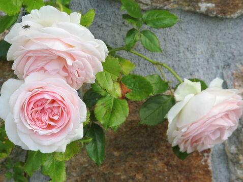 """Résultat de recherche d'images pour """"rose pierre de ronsard de"""""""