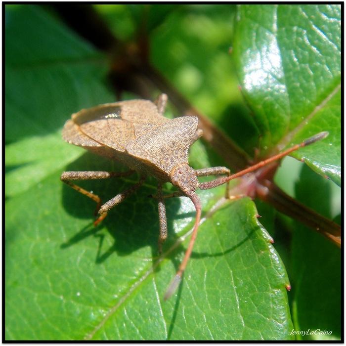 Punaise brune - Coreus marginatus