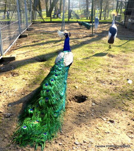 Les paons (et autres volatiles) au parc de Nahuques de Mont-de-Marsan