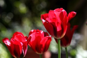 Tulipes Red Spring Green7
