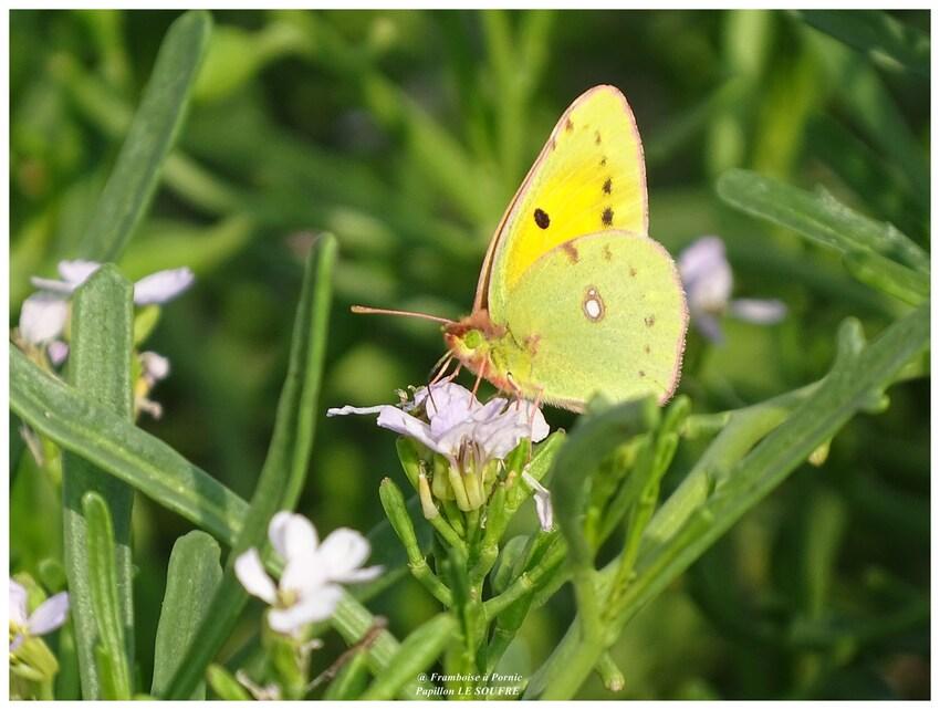 Papillon le Soufré - 2017