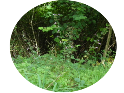 Calament des bois