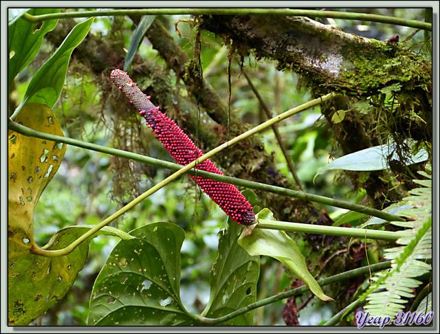 Blog de images-du-pays-des-ours : Images du Pays des Ours (et d'ailleurs ...), Inflorescences dans la canopée - Arenal - Costa Rica