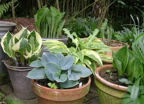 Les hostas au jardin