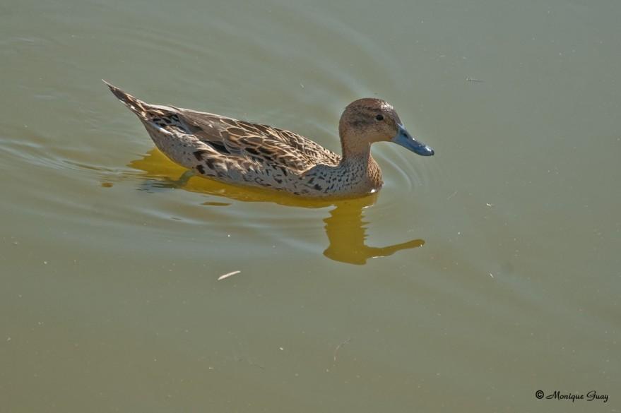 canard-pilet-femelle-2681.jpg