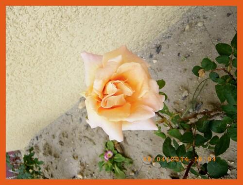 rose, fleur