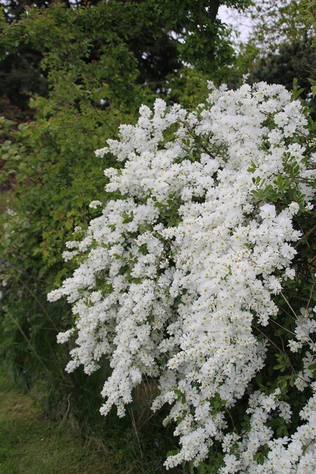 "Exochorda ""the bride"""