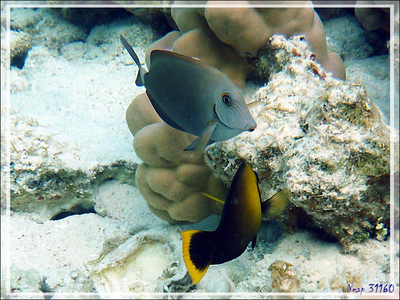 Poisson chirurgien à tête grise, Bluelined Surgeonfish (Acanthurus nigroris) - Lagon de la Pension Kuriri - Maupiti - Polynésie française