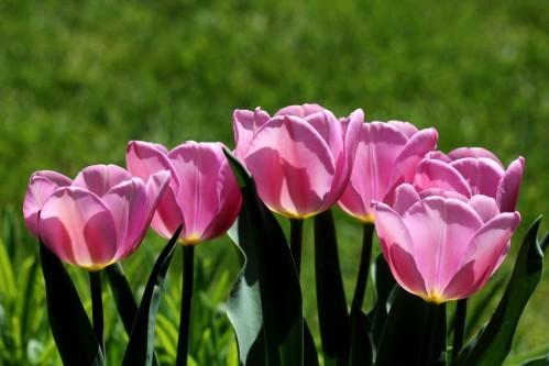 Tulipes Synaeda Amor5