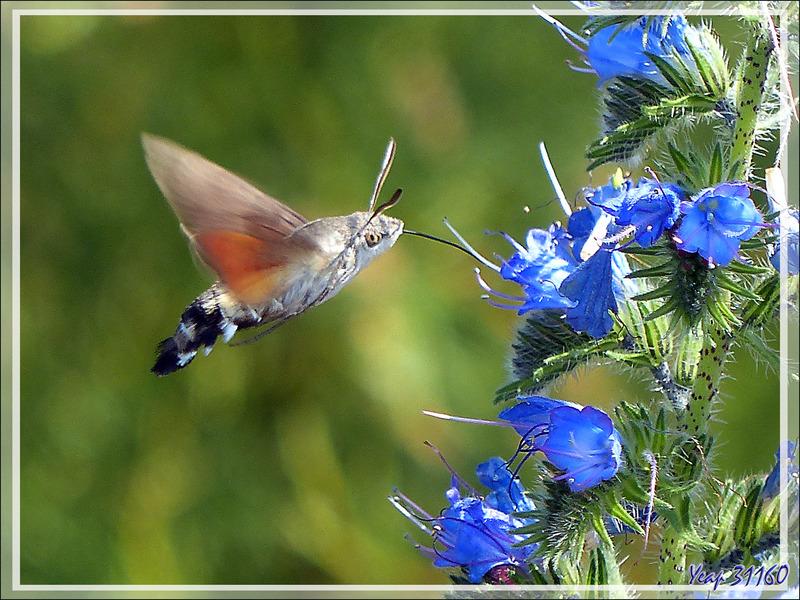 Moro-sphinx ou sphinx colibri (Macroglossum stellatarum) - La Couarde-sur-Mer - Ile de Ré - 17