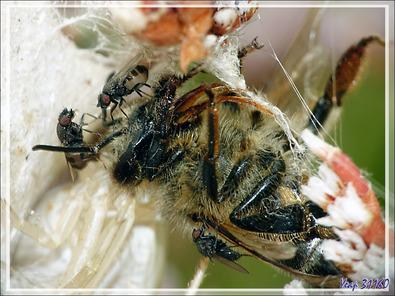 Insectes commensaux sur une proie de l'Araignée crabe Thomise enflée (Thomisus onustus) - Originaire de La Couarde - Île de Ré - 17