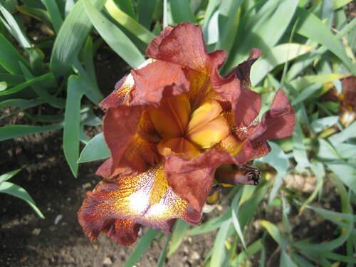 Au jardin public, les iris