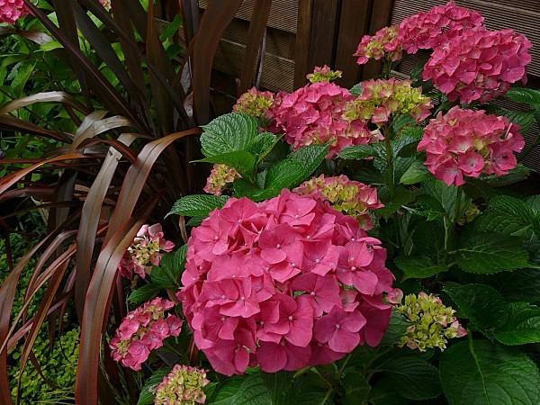Hortensia-Phormium-12--06-11-031.jpg