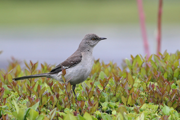Northern Mockingbird - Long Beach