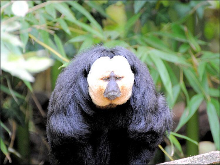 Saki à face blanche (Zoo de Doué la Fontaine)