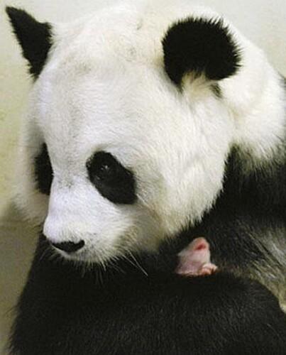 maman-panda