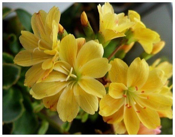 lewidsia-jaunes.jpg