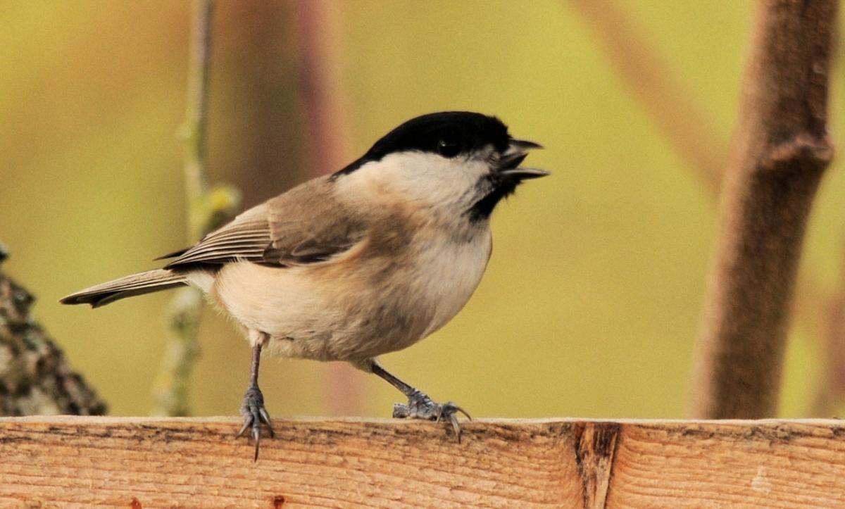 Quelques oiseaux de nos jardins