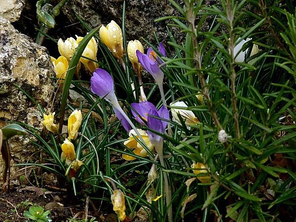 Crocus jaune et violet