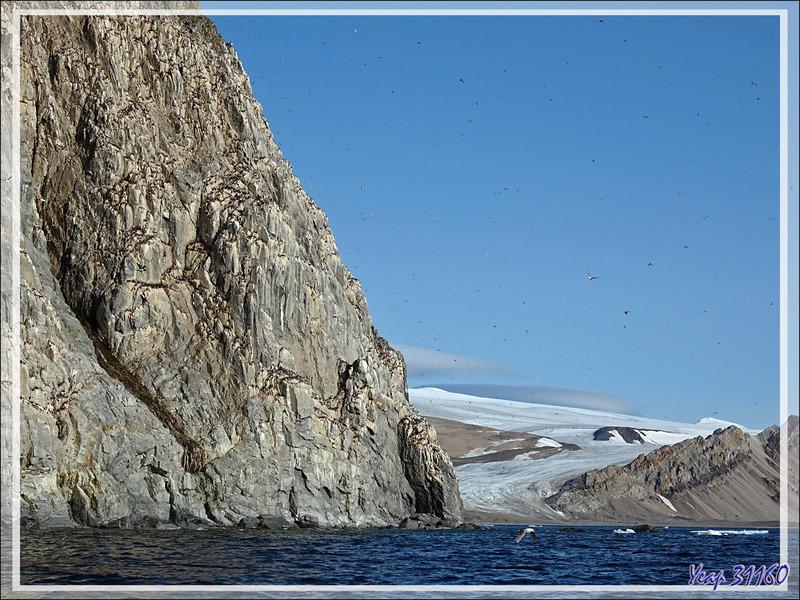 Les falaises de Cambridge Point avc ses dizaines de milliers d'oiseaux, surtout des Guillemots de Brünnich - Coburg Island - Baffin Bay - Nunavut - Canada