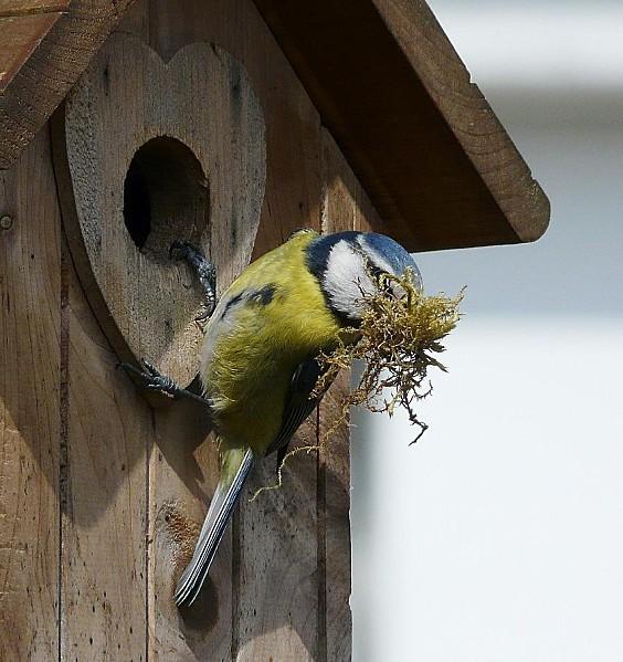 Mesange bleue preparant son nid- 31-03-10 026