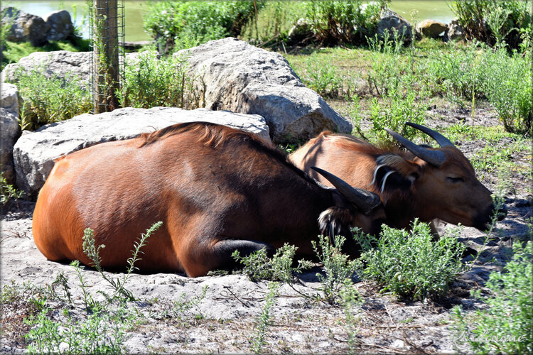 Photo Buffle nain - Zoo d'Arcachon