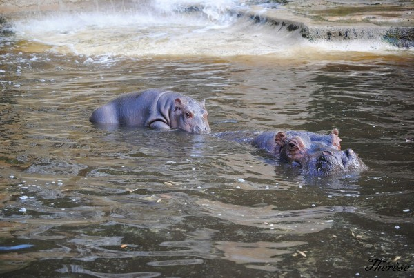 Hippopotames Amneville (11)