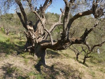 Au bord de la route un olivier pluricentenaire