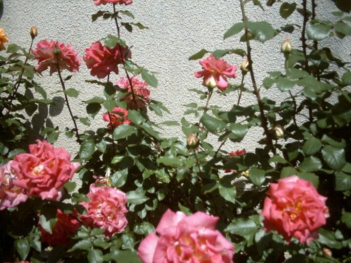 la rose que j'aimais (communautè des amies(is) de Jacques)