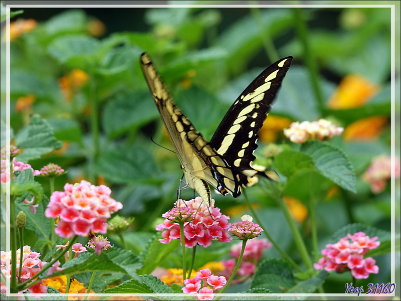 Voilier géant, King Swallowtail (Papilio thoas brasiliensis) - Parque das Aves - Foz do Iguaçu - Brésil