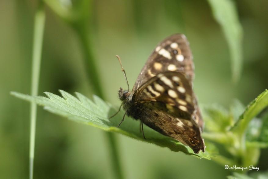 papillon-tircis-9681.jpg