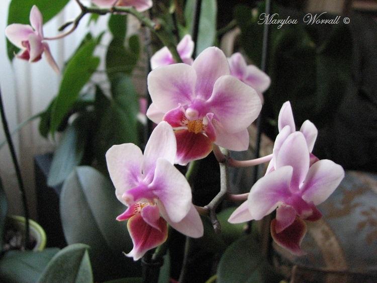 Deuxième orchidée de l'année