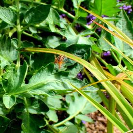 Araneus Diadematus ou Epeire Diadème