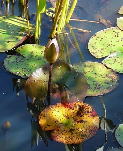 Jardin-du-Prahor-8-08-12-Nympheas-P1290959.JPG