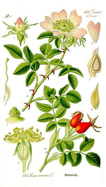Fichier:Illustration Rosa canina1.jpg