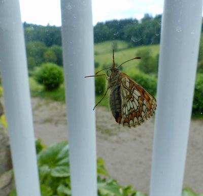 Papilloner :