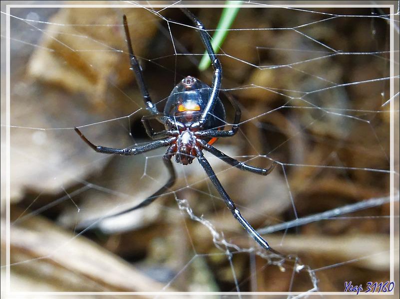 Araignée Veuve noire, Black widow Spider : Ménavodie, Latrodectus noire (Latrodectus menavodi) - Nosy Sakatia - Madagascar
