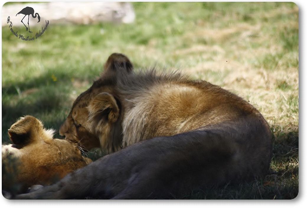 Jeune lion... (Parc aux félins - Nesles - 77)