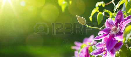 art Summer or spring beautiful garden background with clematis flowers Banque d'images
