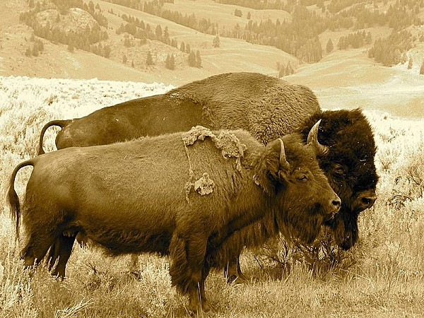 800px-Buffalo Bison Pair